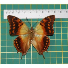 Charaxes candiope op speld