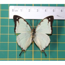 Charaxes zoolina op speld