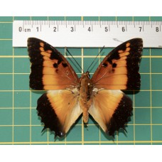 Charaxes pollux op speld