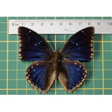 Charaxes tiridates op speld